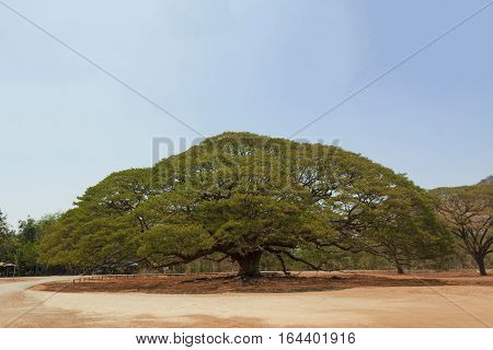 big tree in Kanchanaburi Province of Thailand