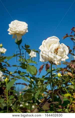 close-up detail of multiple white roses on a rose bush with a cloudless blue sky in the background. Valentine's Day and gardening concept.