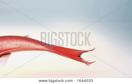 Red Tail On Plate With Drop
