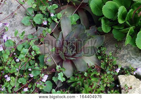 In a small flower bed among stones  grow sempervivum, saxifraga and other plants.