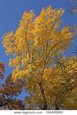 Yellow Tree in the Fall in Wyalusing State Park in Wisconsin