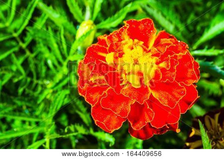 Fresh Beautiful Marigold