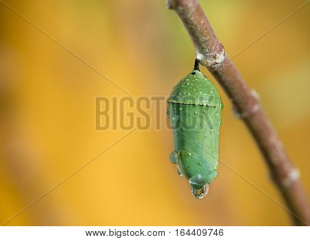 Monarch butterfly pupae covered in morning dew on milkweed branch. Closeup with copy space.