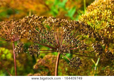Umbrellas Of Seeds Fragrant Dill (fennel)