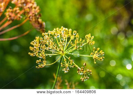 Umbrellas Of Seeds Fragrant Dill (fennel) With Dew Drop