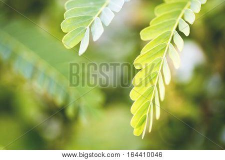 Leucaena Plant