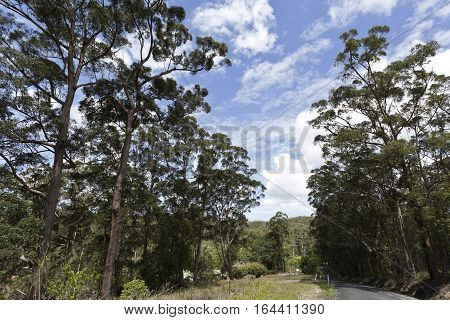 Tall eucaliptus trees also called gumtrees in Yandina hinterland Queensland Australia