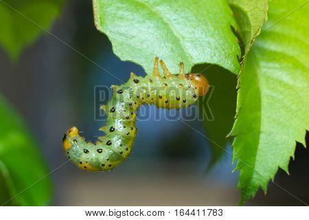Rose sawfly larvae (Arge ochropus) feeding on leaves of roses