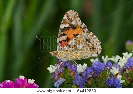 Small tortoiseshell(Aglais urticae) butterfly on some flowers