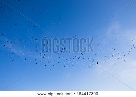 Flock of black birds flying in the blue sky.