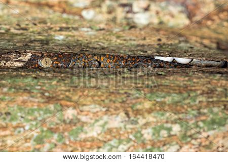 Red Spotted Gecko Portrait Defending Eggs Close Up Macro