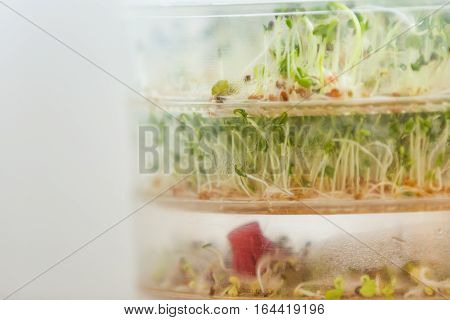 Sprouts Growing In Container
