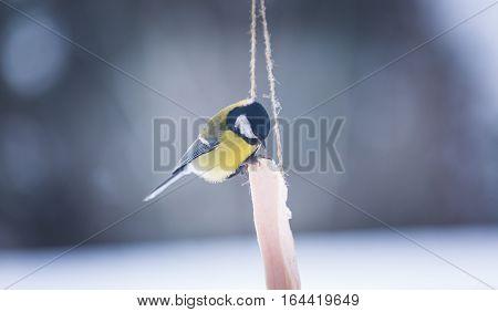 European Tit Bird Sitting On Fat