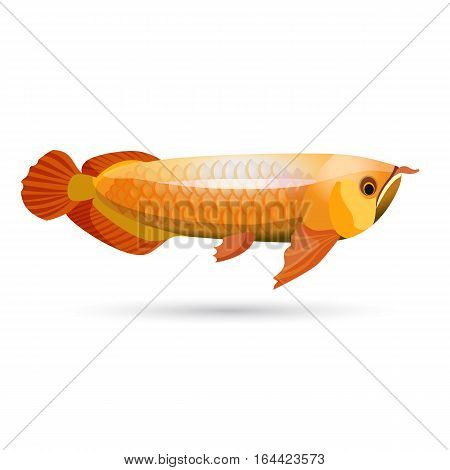 Arowana freshwater bony fish known as bonytongues isolated on white. Head is bony and elongated body covered by large scales, with mosaic pattern of canals. Kept as pet. Vector illustration