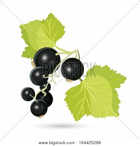 Blackcurrant with leaves isolated on white. Piquant berries cultivated commercially and domestically. Raw fruit is particularly rich in vitamin C and polyphenol phytochemicals. Vector illustration