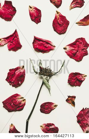 Press dried rose flower with petals, on white paper, vintage tone