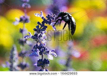 Close up Insects are swarming blue salvia flowers