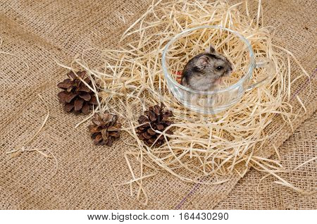 Little cute Djungarian (asian Siberian dwarf) hamster in a transparent cup on canvas background