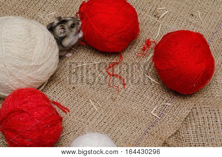Little cute Djungarian (asian Siberian dwarf) hamster with white and red balls of wool on canvas background