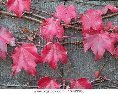 Red Leaves on Old Vine
