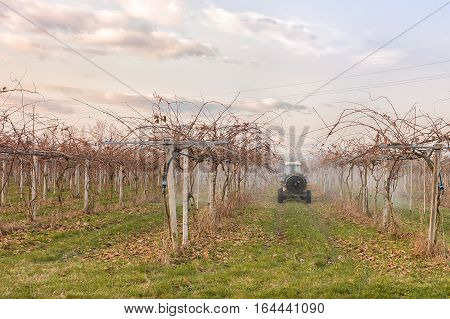 Agriculture work. Treatment pesticide to fruit trees. Kiwi trees. In a winter day.