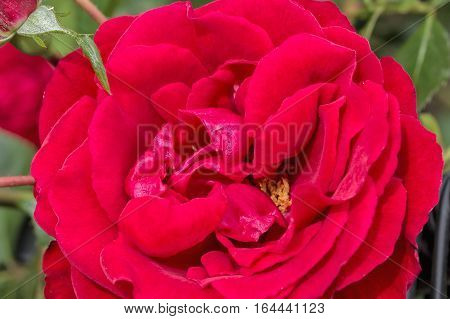 Inflorescence of red rose on a background of green leaves macro. Selective focus