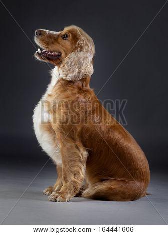 Cocker Spaniel poses on sideways in studio