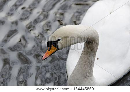 one beutiful white swan swim in the lake loking for food
