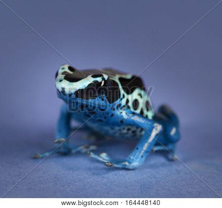 Azureus tinctorius portrait in studio with blue background