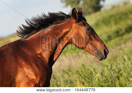 Portrait of bay horse in profile on a green background