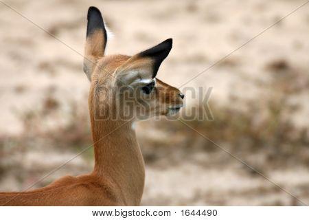 Impala in Tsavo-East-Nationalpark Kenia
