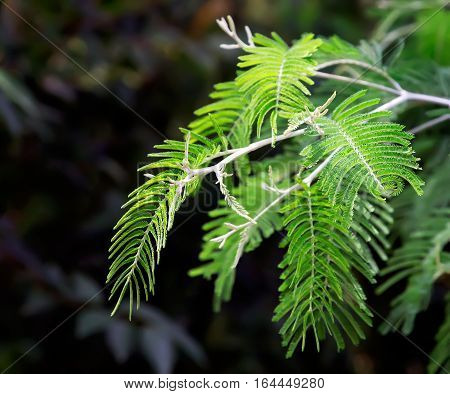 Green branch of Mimosa with a delicate leaves on a dark background.