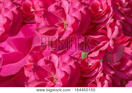 Background from inflorescences of pink roses. Selective focus