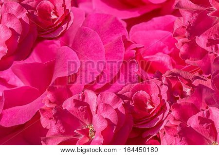 Background from inflorescences of pink roses close up. Selective focus