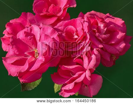 Inflorescences of pink roses isolated on a green background