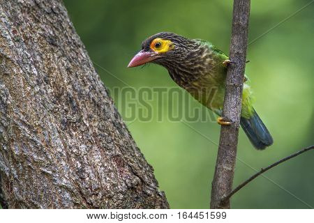 Brown-headed barbet in Minneriya national park, Sri Lanka; specie Megalaima zeylanica family of Ramphastidae