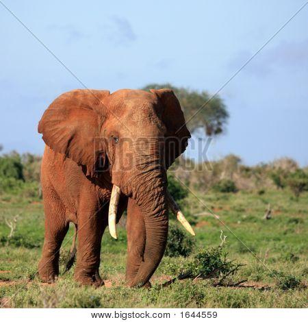 Red Elephant Tsavo East Kenia