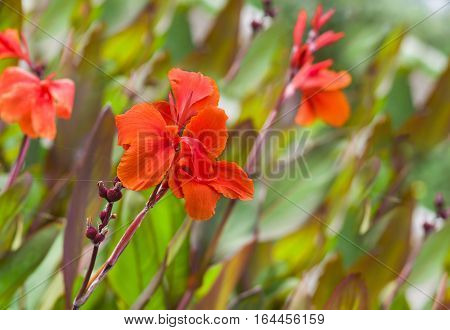 Flowers jungle - canna lilies on flower-bed.