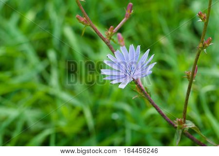 Chicory perennial herbaceous plant in time of blossoming against abstract natural background.