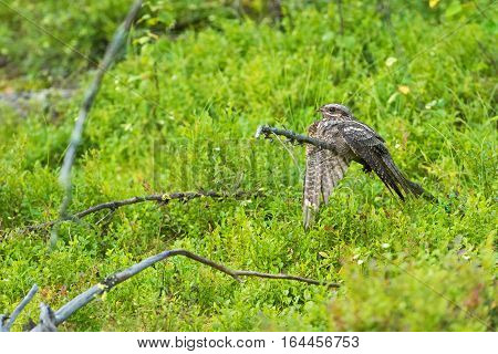 Female nightjar  leads people away from the nest