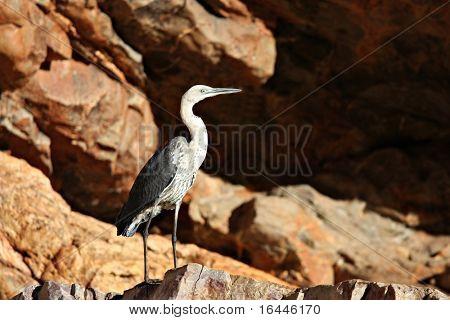 Heron at Ormiston Gorge, NT Australia poster