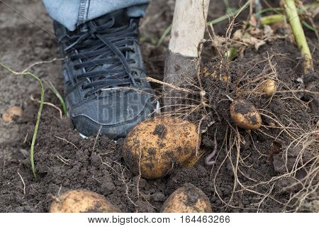 The tubers of potatoes lying in the ground photo for you