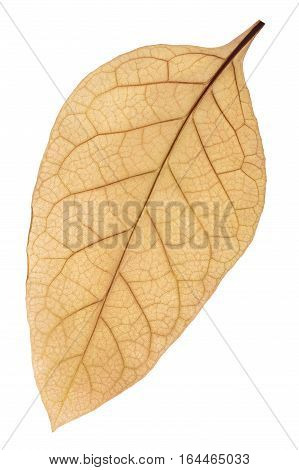 Dried Tobacco (nicotiana Tabacum) Leaf, Path