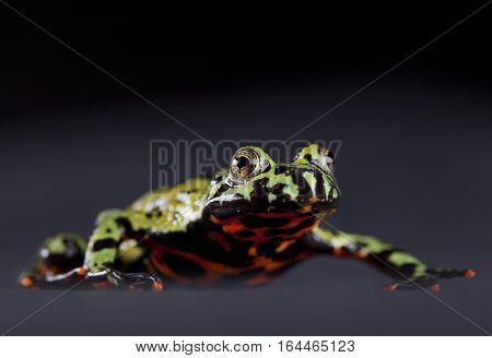 Multicolor Toad portrait in studio with grey background