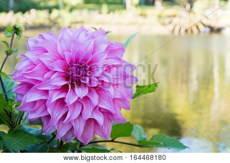 Beautiful Pink Dahlia Flower Blossom, Green Leaves And Blue Water. Fresh Floral Natural Background.