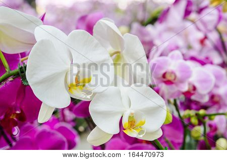 The white orchid in garden at Thailand.