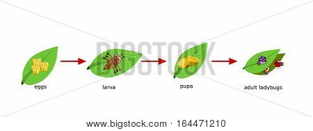 Vector of ladybug life Cycle for kids