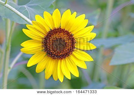 Common Sunflower Helianthus annuus Close-up flower plant