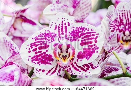 Close-up of pink orchid phalaenopsis in farm at Thailand.