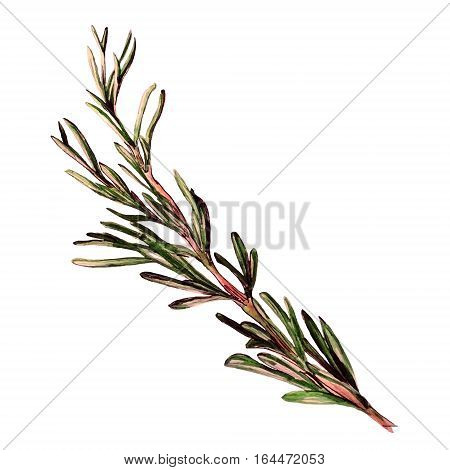Green rosemary leaves. Hand drawn watercolor sketch